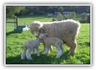 Romney_Ewe_and_Lamb